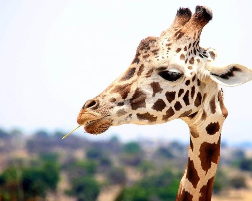 Wildlife fotografie - Giraf