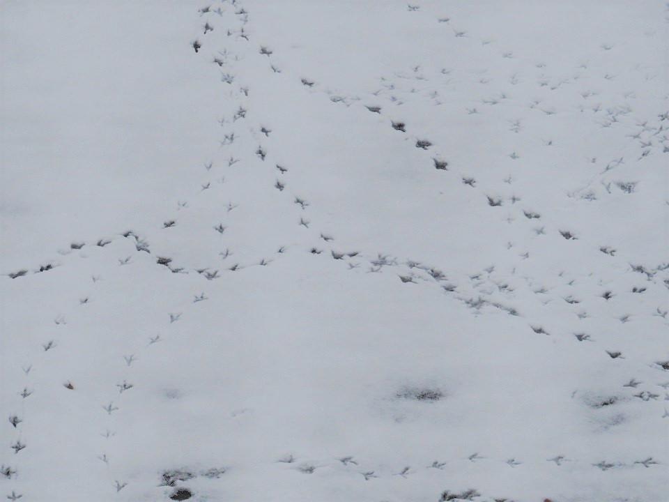 Voetsporen van vogels in de sneeuw.